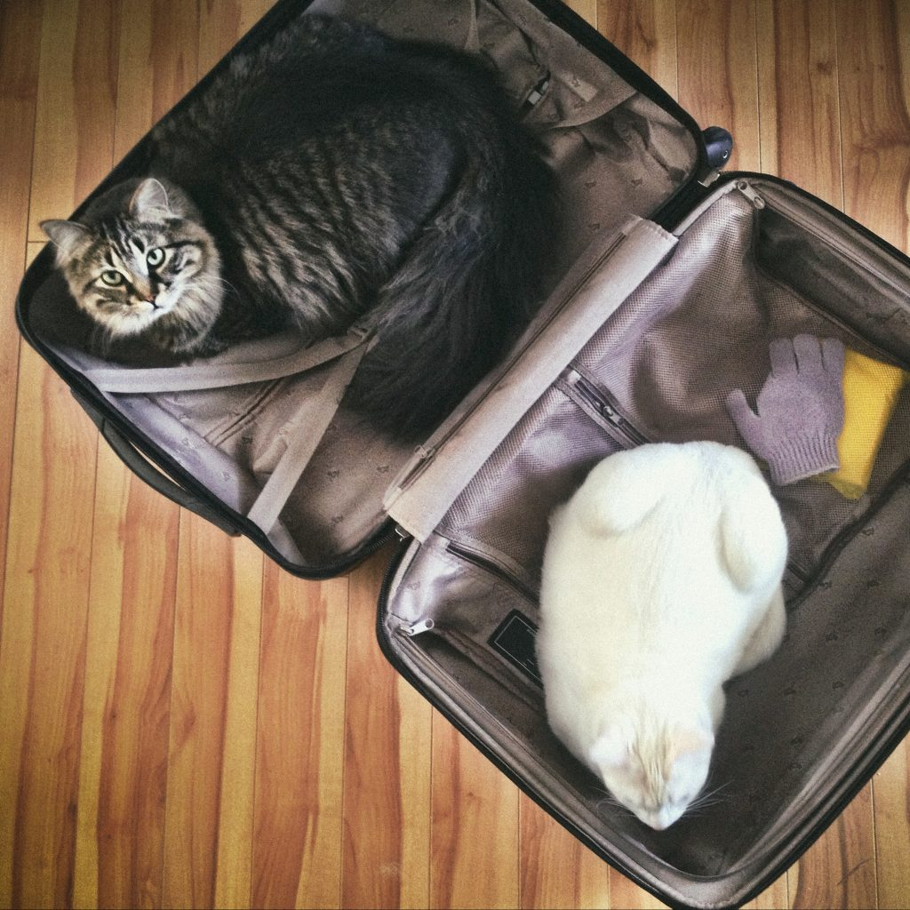 Two pet cats sit in an empty suitcase
